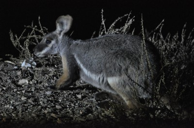 Campsite visitor - Yellow footed rock wallaby