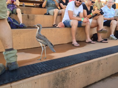 Curlew at the bird show